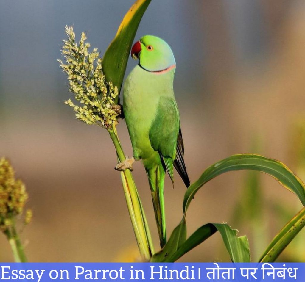 Essay on Parrot in Hindi, About Parrot in Hindi, Information About Parrot in Hindi