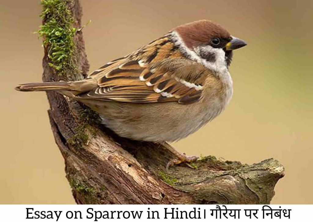 Sparrow in Hindi, About Sparrow in Hindi, Information About Sparrow in Hindi