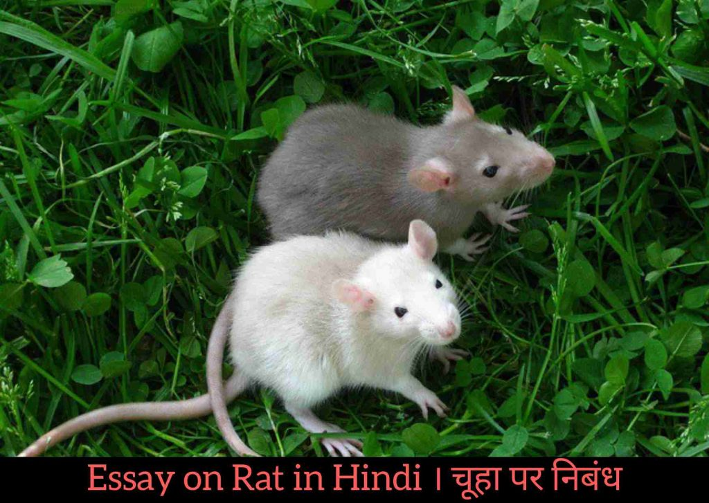 About Rat in Hindi, Rat in Hindi, Information About Rat in Hindi,