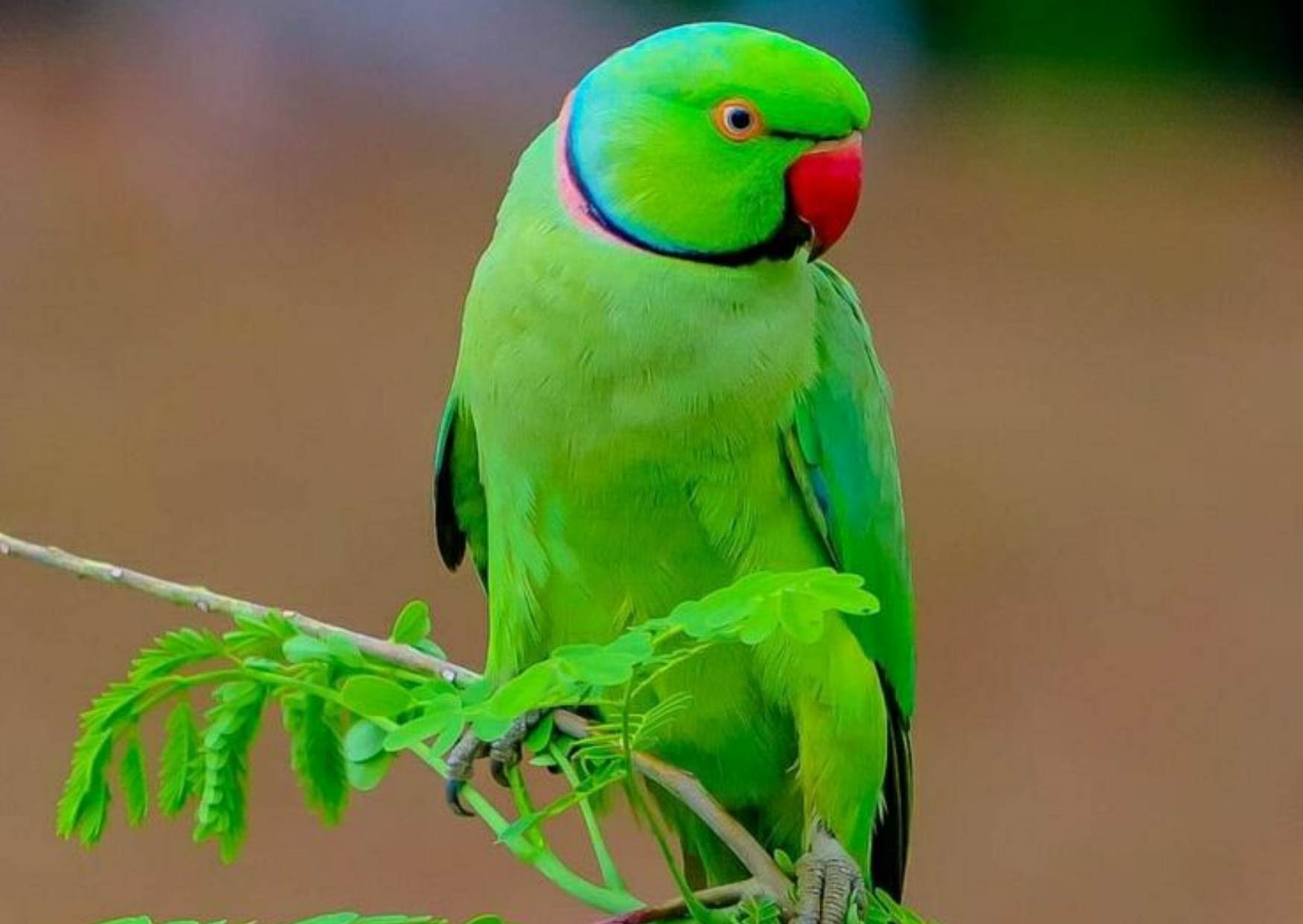 About Parrot in Hindi, Colour of Parrot in Hindi, Importance of Parrot in Hindi, Food of Parrot, Information of Parrot in Hindi