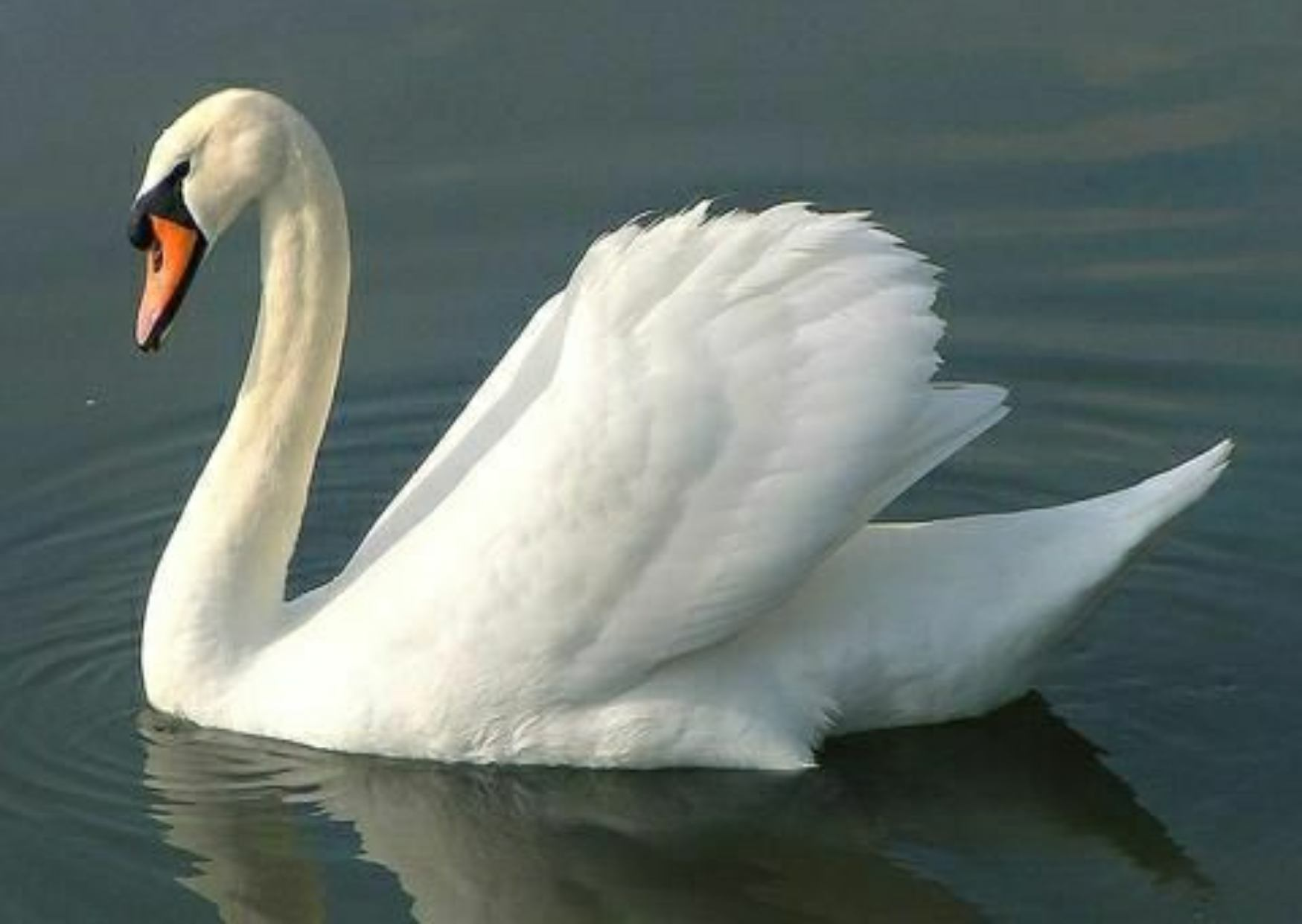 Information About Swan in Hindi, Swan in Hindi, Food of Swan, Specise of Swan, Colour of Swan