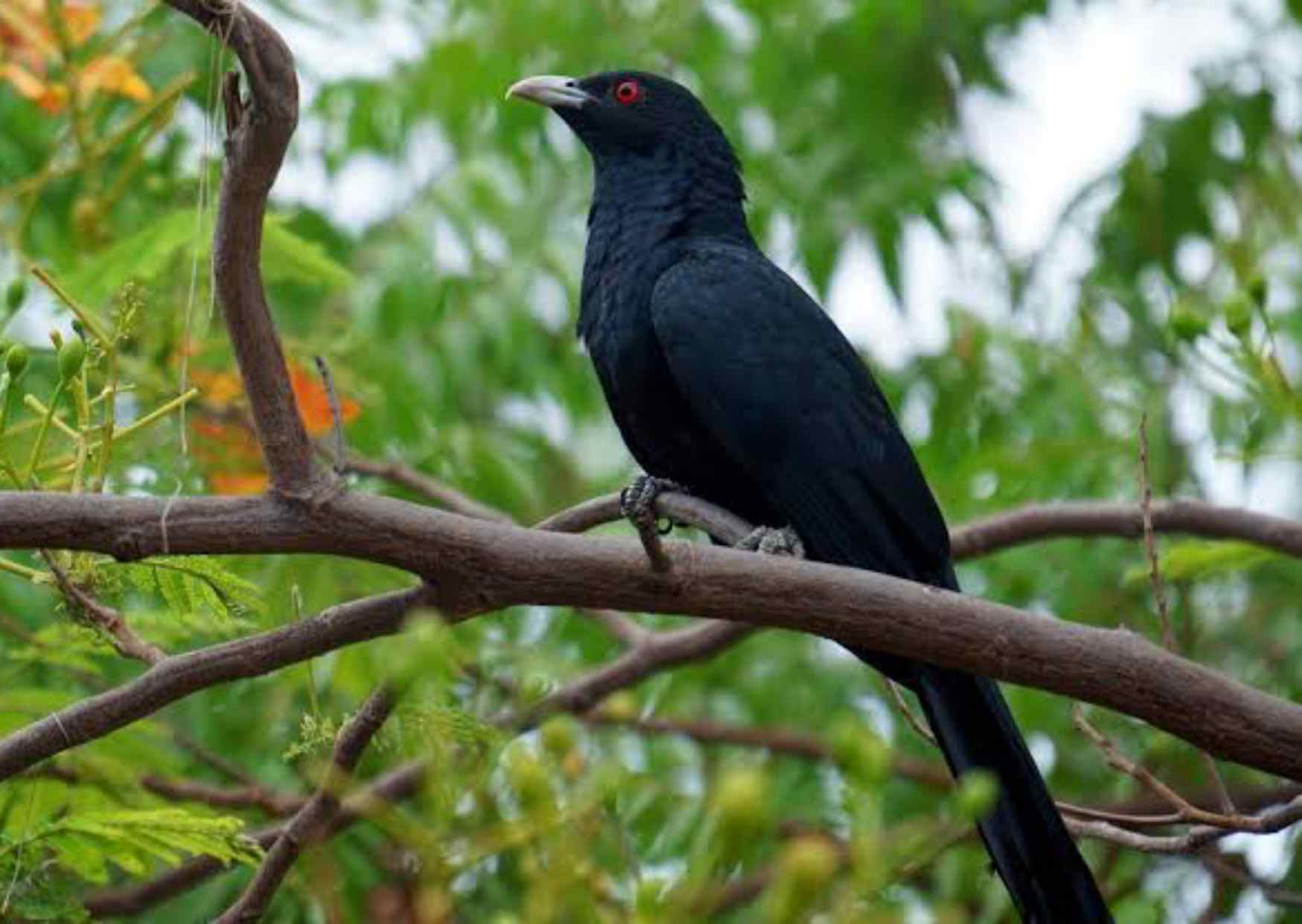 Cuckoo in Hindi, Information of Cukoo in Hindi, Specise of Cuckoo,