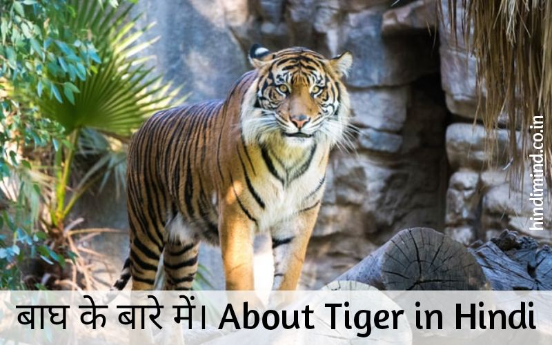 Essay About Tiger in Hindi, Information About Tiger in Hindi, Tiger Essay in Hindi